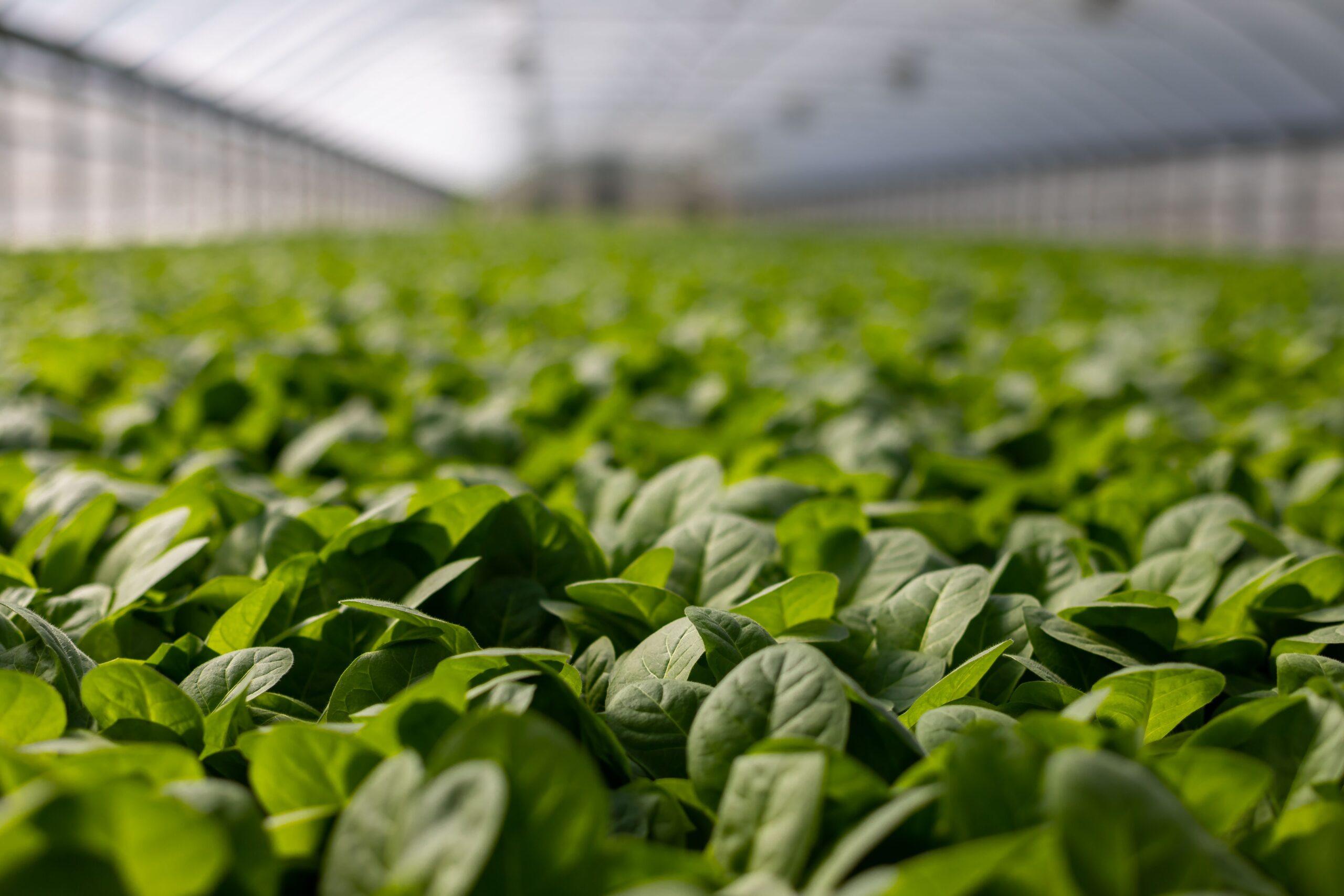Cómo medir la eficiencia de la fotosíntesis en cultivos